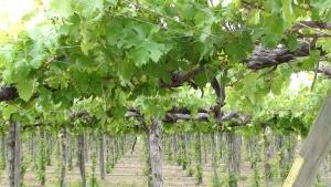 Organic vines